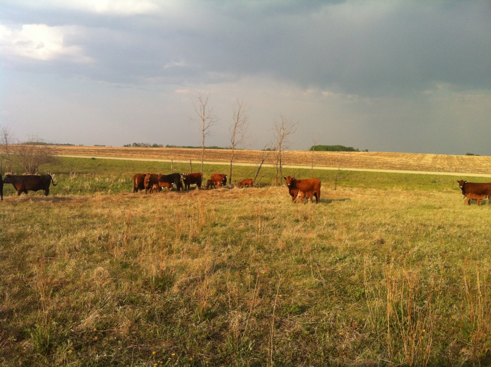 Sunset Cattle Sunday